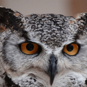 Macro detail of an owl with amber eyes